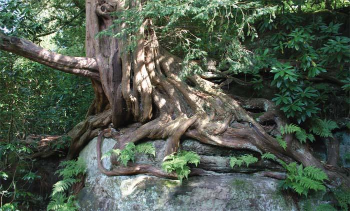 Az év fája 2011-ben: a tiszafa